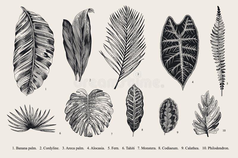 Placez la feuille exotics Illustration botanique de vecteur de vintage illustration de vecteur