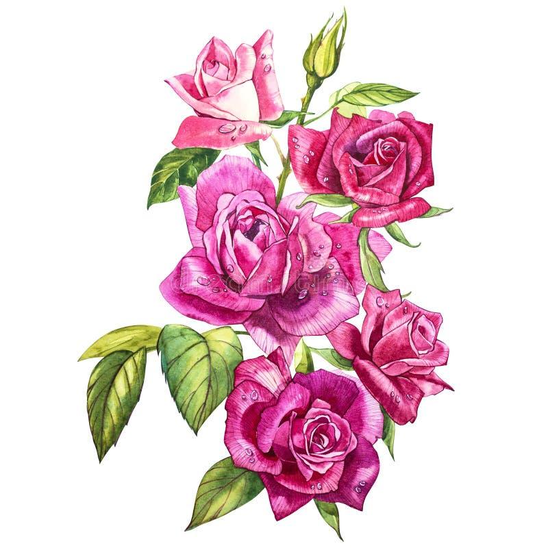 Placez les éléments d'aquarelle des roses Le rose de jardin de collection fleurit, des feuilles, branches Illustration botanique  illustration stock