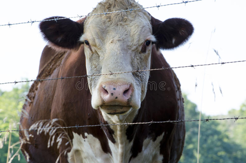 Placid cow stock images