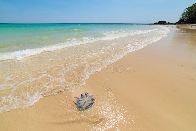 Plage de désert avec de grandes méduses, l'eau bleue de turquoise, paradis tropical, destination de voyage, Kei Island, Moluques, image libre de droits