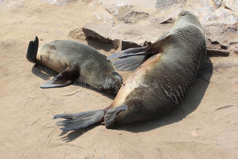 Plage potable de mère de joint de mer de bébé, Namibie photos libres de droits