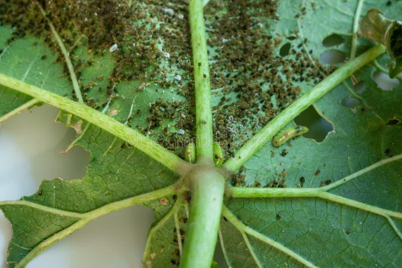 Plagen, Baumwollblattlaus, Baumwollebollworm, Pseudococcidae und Thrips palmi karny auf einem Urlaub des essbaren Eibisches lizenzfreies stockbild