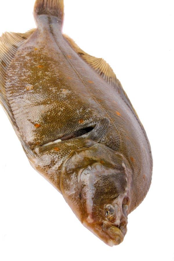 Plaice fish. Close up on white background royalty free stock photos