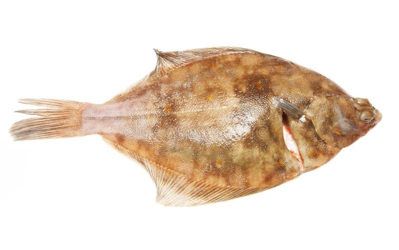 Download Plaice Flat Fish Stock Image - Image: 6020941