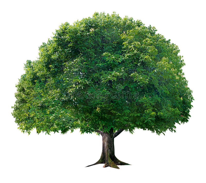 Plain Apple Tree. In White Background stock photography