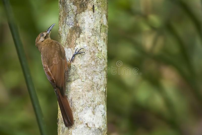 Plain-brown Woodcreeper, Dendrocincla fuliginosa, on tree. A Plain-brown Woodcreeper, Dendrocincla fuliginosa, on tree royalty free stock photo