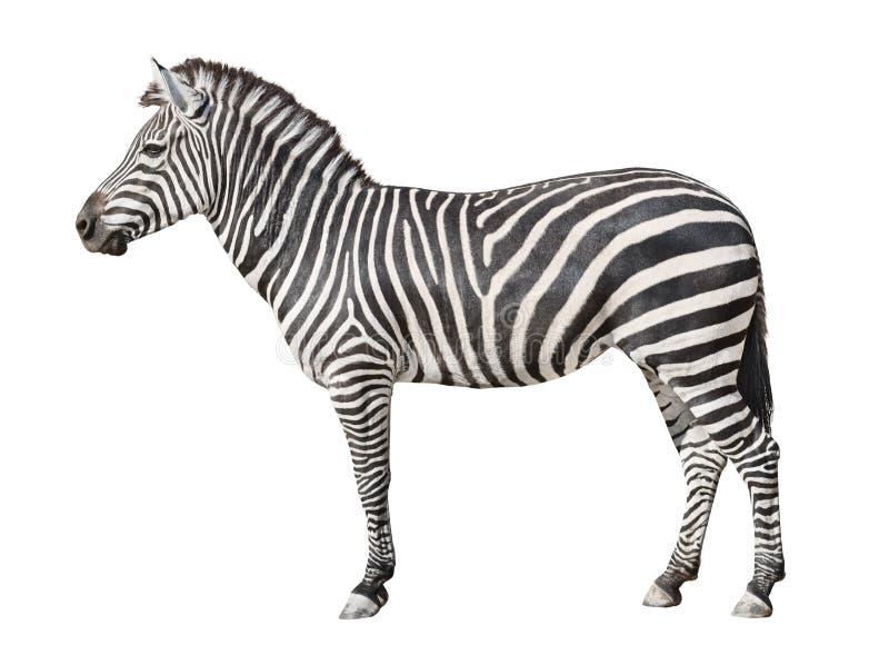 Plain Burchell`s Zebra female standing side view on white royalty free stock images