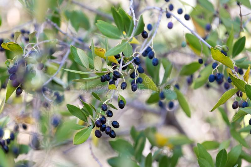 Olive tree. An plain fresh olive tree royalty free stock images