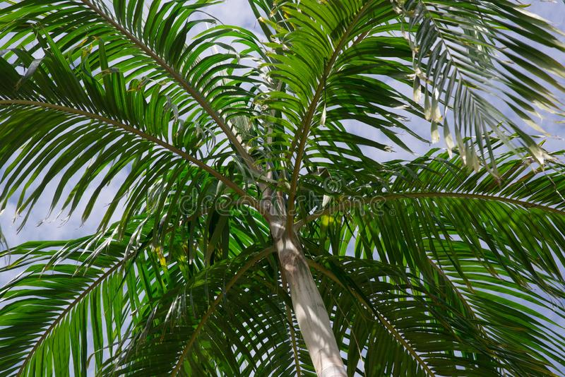 Plain green palm tree. On blue sky background stock images