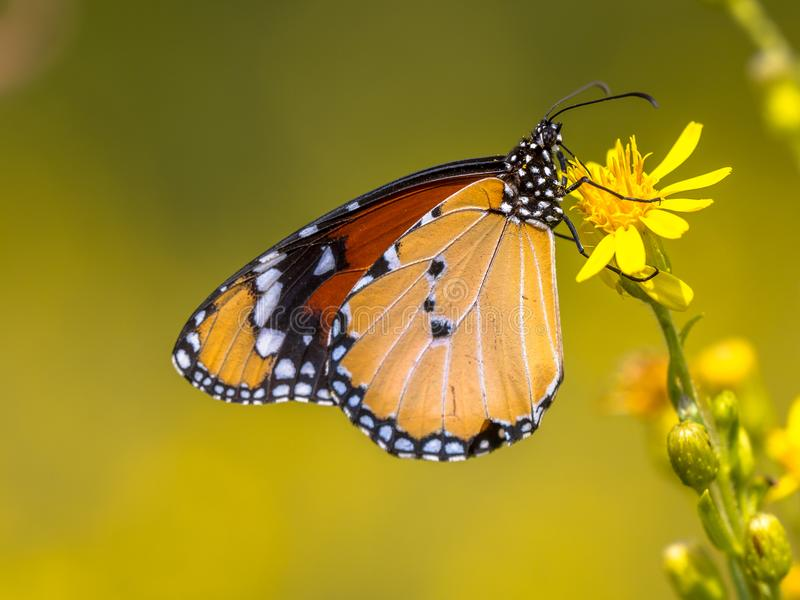 Plain tiger butterfly drinking nectar. Plain tiger or African monarch butterfly (Danaus chrysippus) drinking nectar on yellow flower royalty free stock image