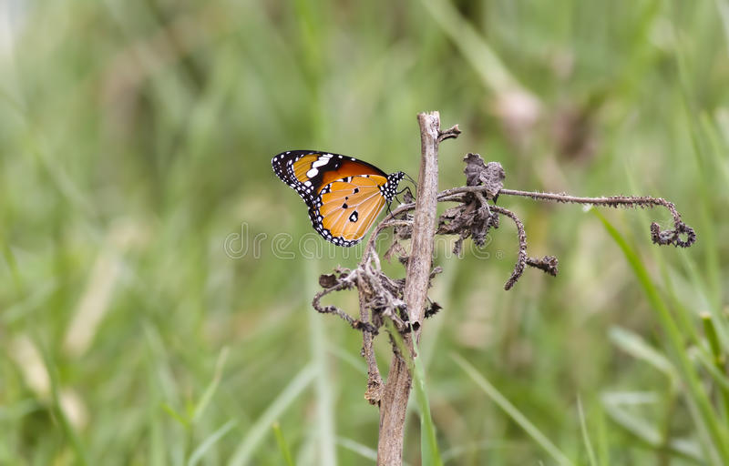 Download Plain tiger butterfly stock image. Image of plain, beautiful - 20693407
