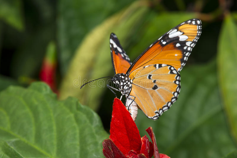 Plain Tiger Butterfly. Beautiful colorful plain tiger butterfly emerging from a red leaf royalty free stock images