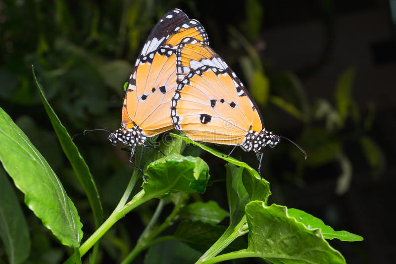 Plain Tiger butterfly (Danaus chrysippus butterfly) butterflies stock photo