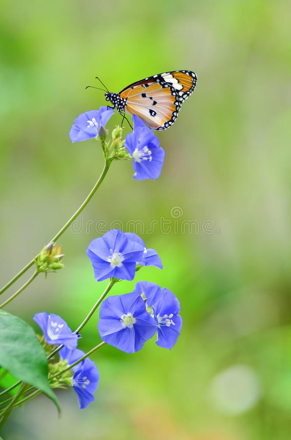 Download Plain Tiger Butterfly On Flowers Stock Image - Image: 26581623