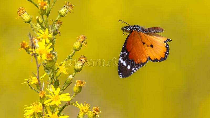 Plain tiger butterfly flying to flower royalty free stock photography
