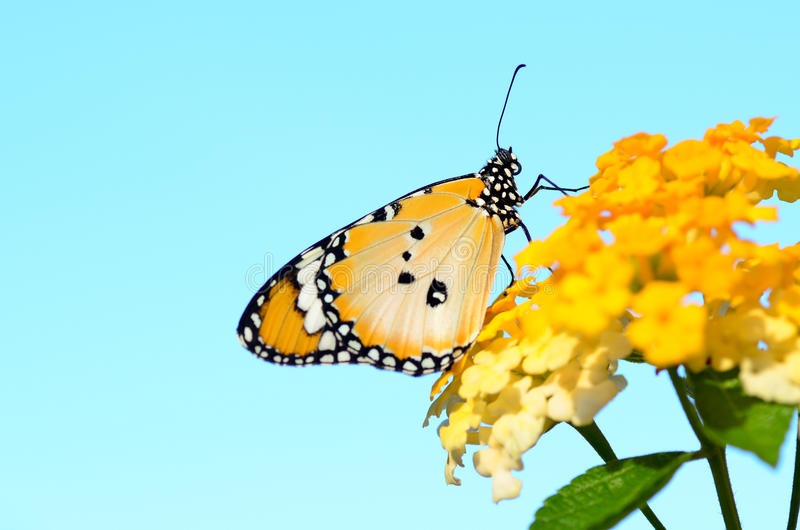 Plain tiger butterfly on Lantana camara stock images