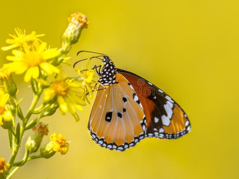 Plain tiger butterfly perched on flower royalty free stock image