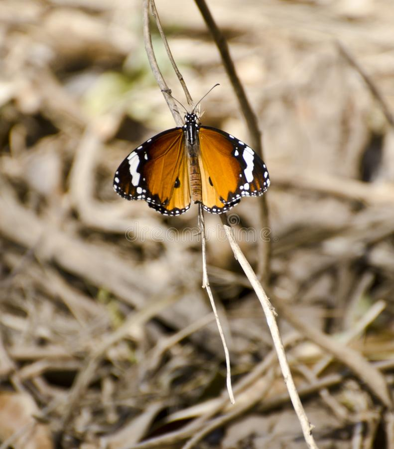 Plain tiger butterfly. A plain tiger butterfly resting on a twig royalty free stock image