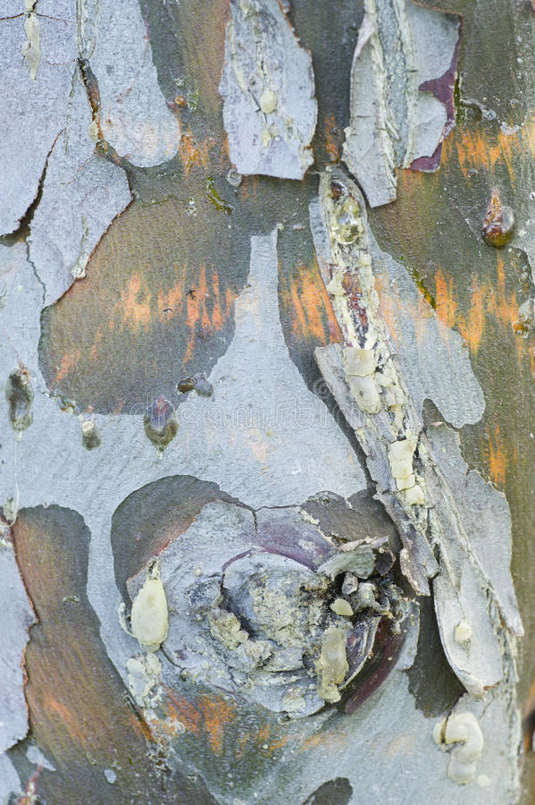 Plain tree detail of bark. With colorful spots royalty free stock image