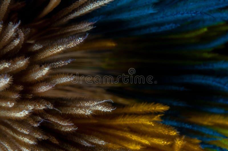 Plaine et coloré teints de la fleur sèche d'herbe de Pennisetum photo stock
