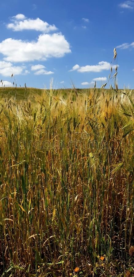 In the plains. The barley sands matured and the colors of nature began to wear the yellow top and hinted at the arrival of the summer and the collection of royalty free stock photos