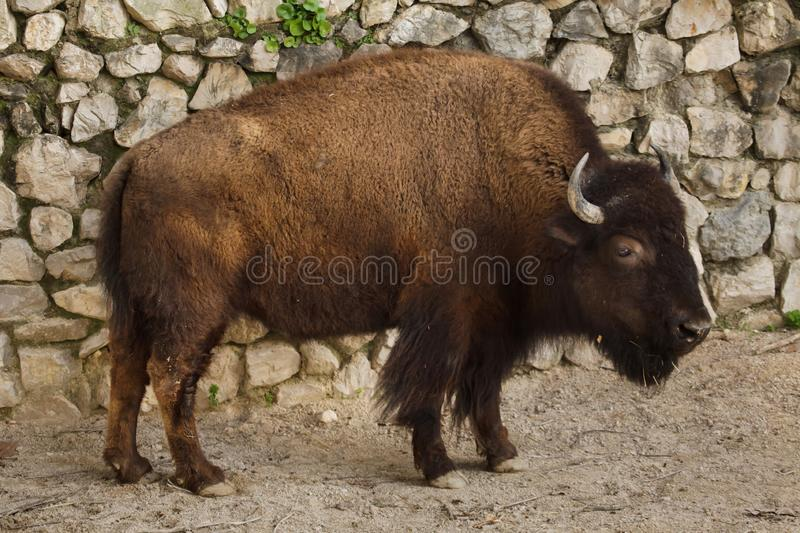 Plains bison, also known as the prarie bison royalty free stock photo