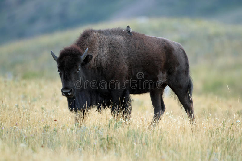 Plains Bison with Bird on its Back royalty free stock photos
