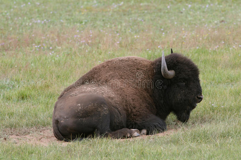 Plains Bison - North Rim of Grand Ca stock photography