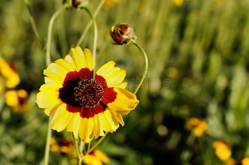Plains Coreopsis. In a wild flower garden. Part of the North Shore Restoration Project around Lake LaSalle at SUNY UB. Coreopsis tinctoria of the asteraceae royalty free stock image