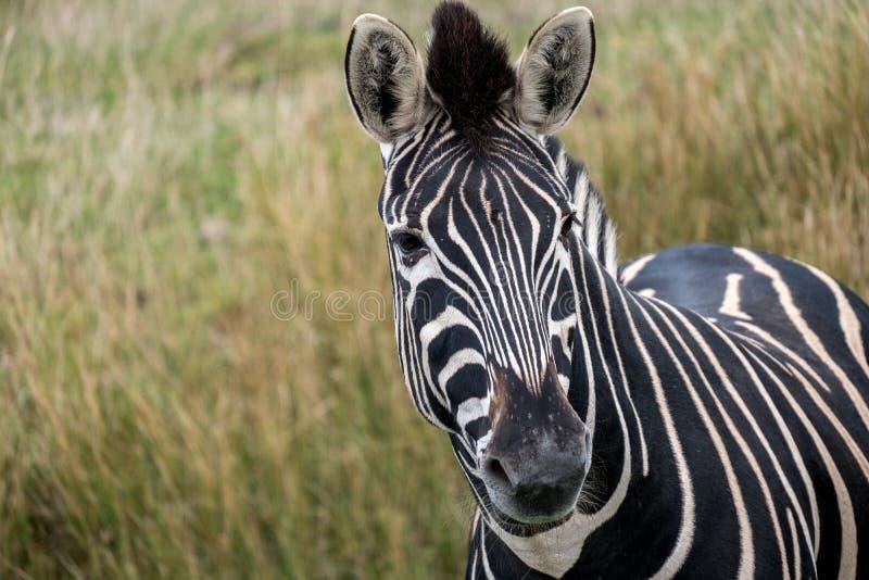 Plains das Zebra, das zur Kamera betrachtet, fotografiert Hafen Lympne Safari Park, Ashford, Kent Großbritannien stockfotos