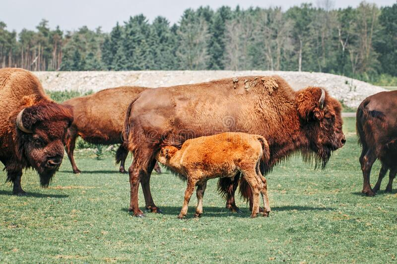 Plains female bison feeding baby calf with milk. Group of oxen eating grass outside. Herd animals buffalo bull consuming plant royalty free stock image