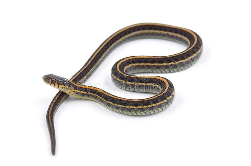 Plains Garter Snake. Isolated on a white background royalty free stock photography