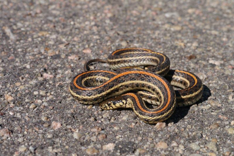 Plains garter snake stock image