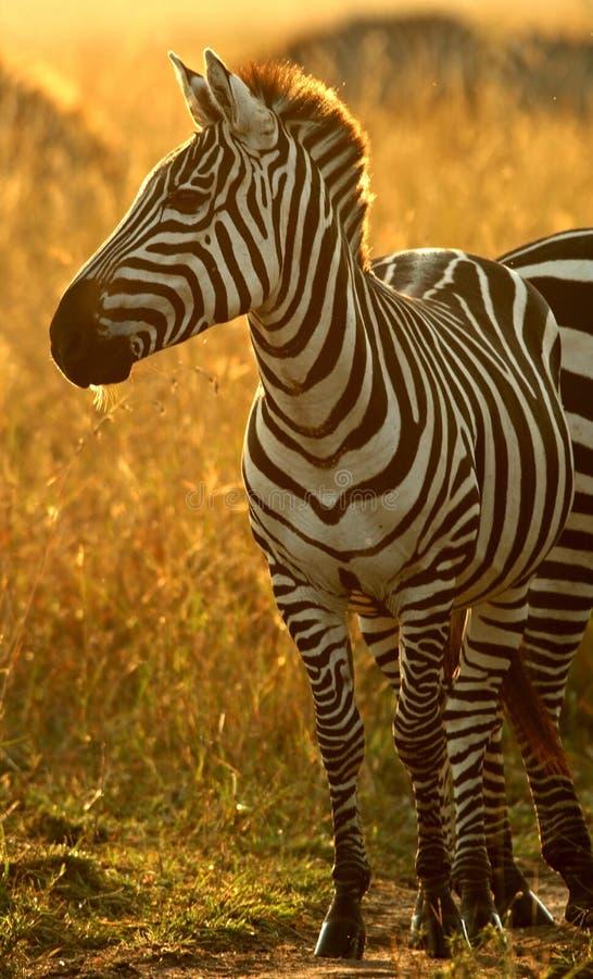 Plains la zebra fotografia stock