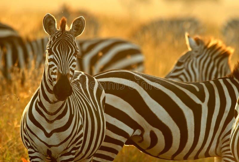 Plains la zebra immagini stock