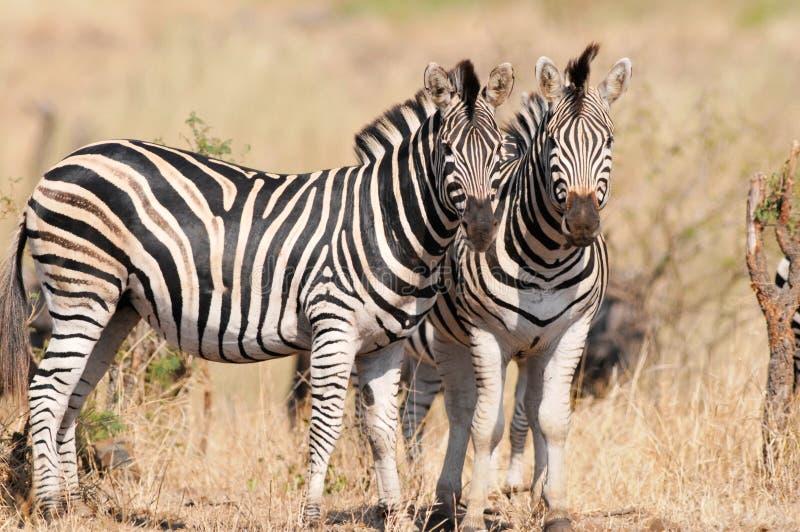 Plains la zebra fotografie stock libere da diritti