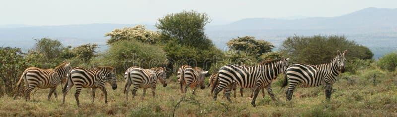 Plains la zebra immagini stock libere da diritti