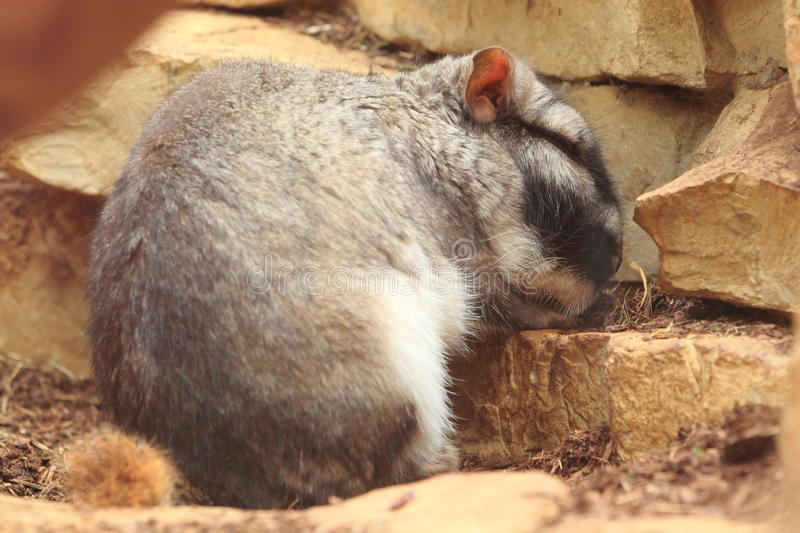 Plains viscacha. The plains vischacha sitting amoung the rocks royalty free stock images
