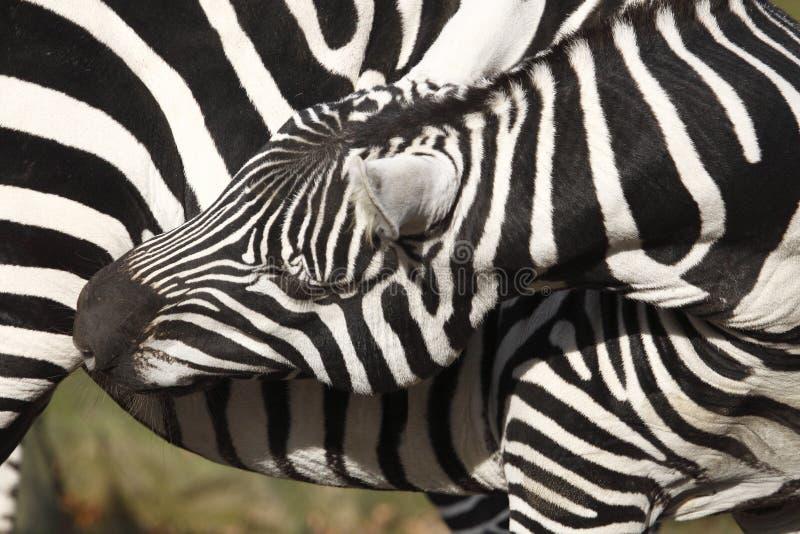 Download Plains Zebra stock image. Image of borensis, burchellii - 11891993