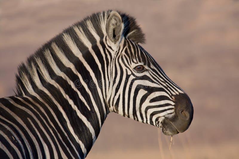 Download Plains Zebra stock photo. Image of reserve, sanctuary - 12721378