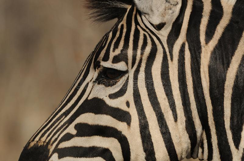 Plains Zebra. This is the eye of a plains zebra, which you can also call common zebra or burchell's zebra royalty free stock photos