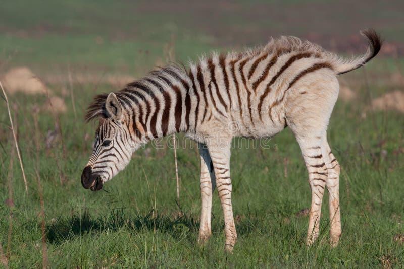 Download Plains Zebra stock photo. Image of grass, destination - 25218916