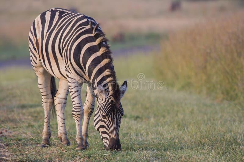 Download Plains Zebra stock photo. Image of adventure, graze, safari - 25840142