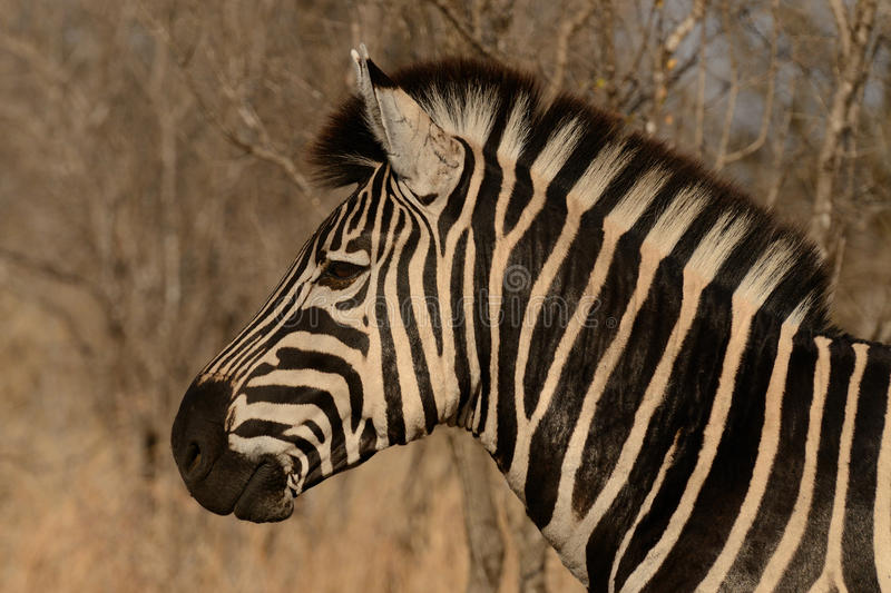 Plains Zebra. This is a portrait of a plains zebra, which you can also call common zebra or burchell's zebra stock photos