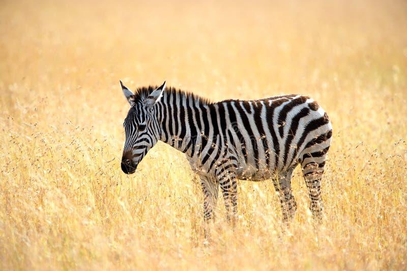 Plains a zebra fotografia de stock