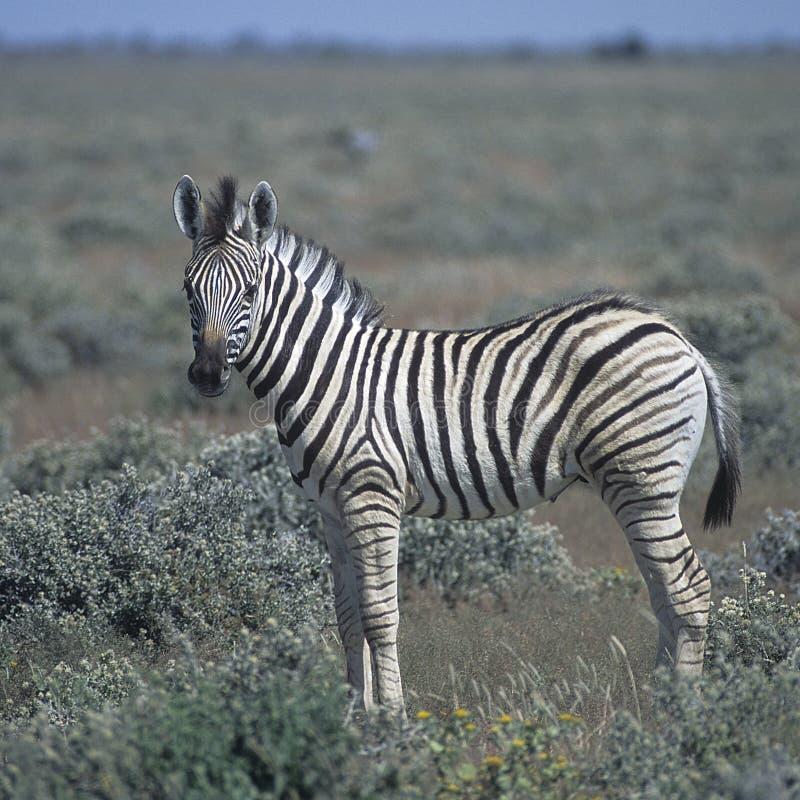 Plains a zebra foto de stock royalty free