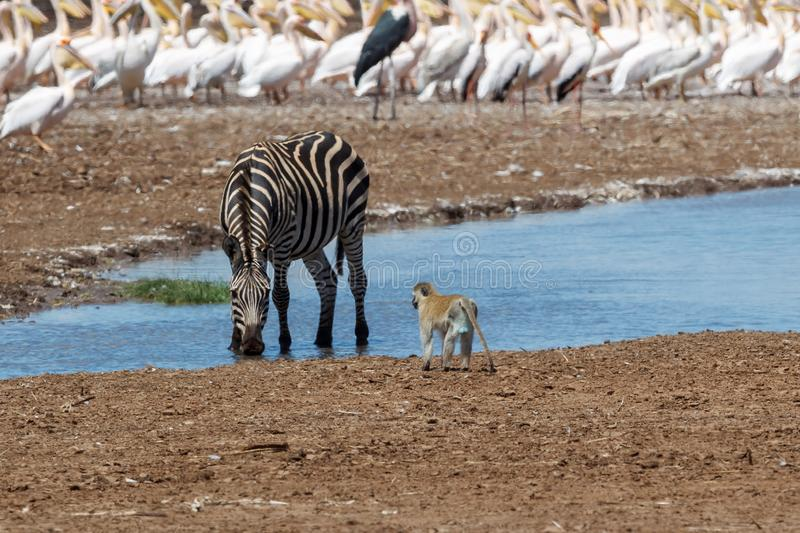 A Plains zebra at a waterhole in Lake Manyara royalty free stock photos