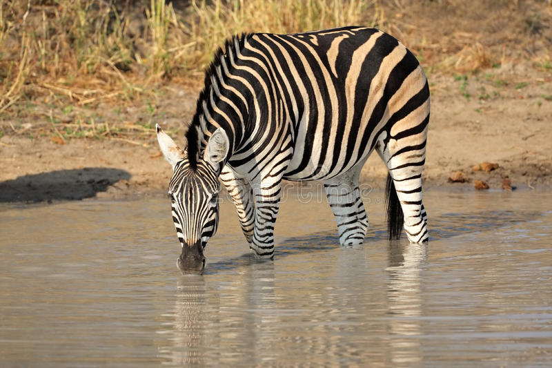 Download Plains Zebra drinking stock image. Image of quagga, conservation - 20344655
