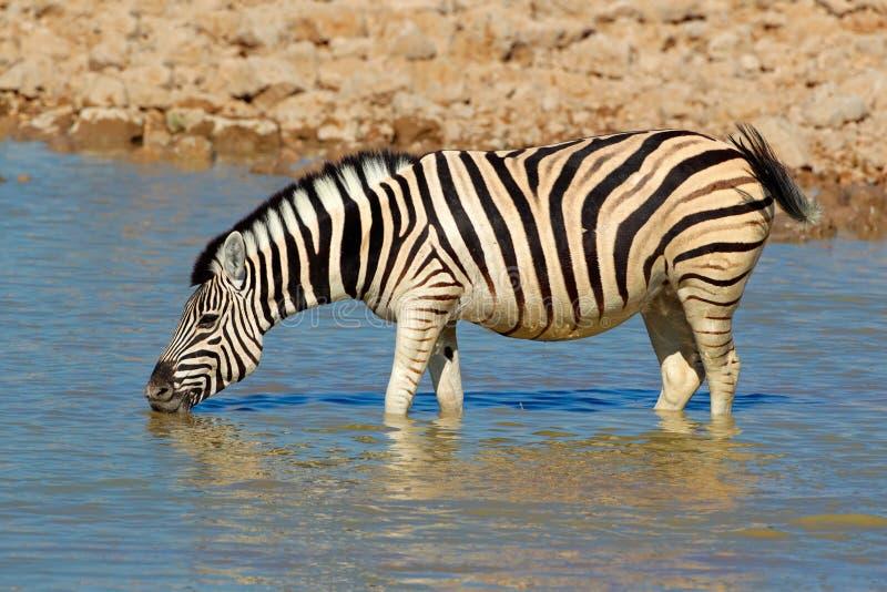 Plains Zebra drinking. Plains (Burchells) Zebra (Equus burchelli) drinking water, Etosha National Park, Namibia royalty free stock images