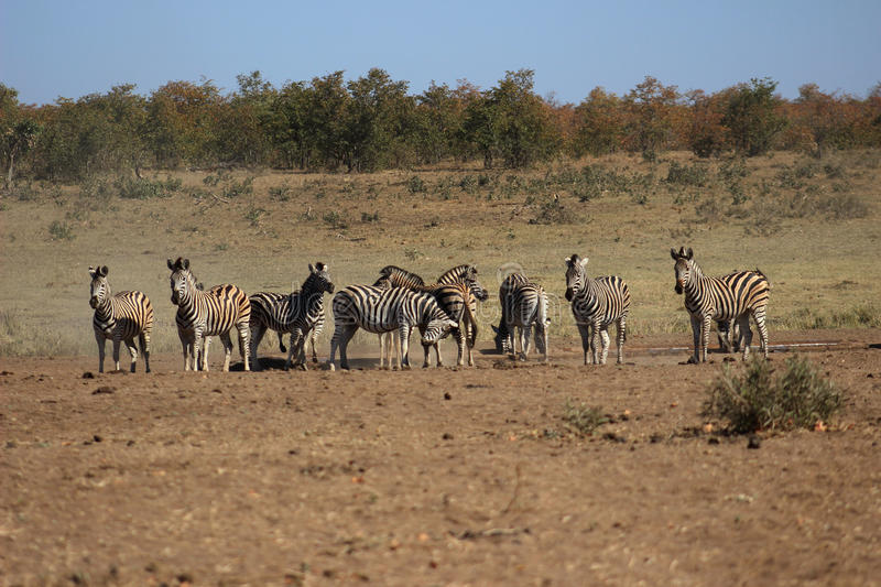 Plains zebra at drinking hole. Plains zebra herd drinkink water from a water hole in krugernational park royalty free stock photography